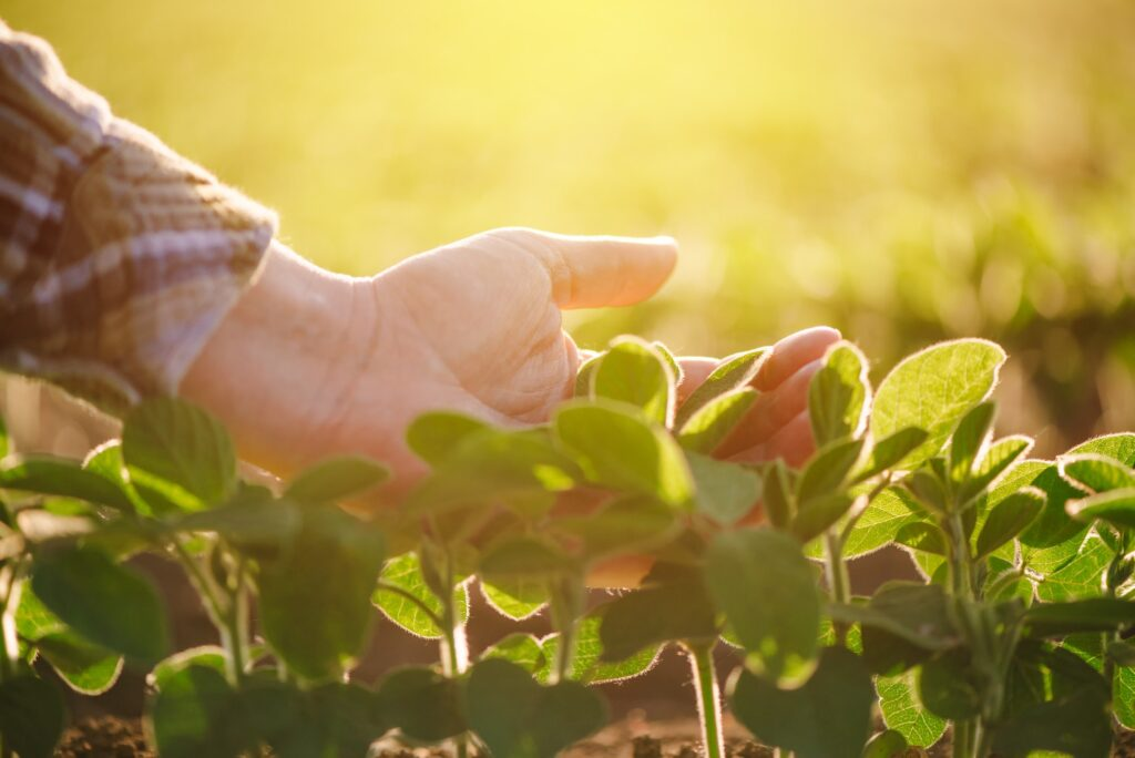 Close up of female farmer hand examining soybean plant leaf